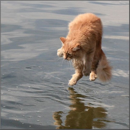 Cat_on_water